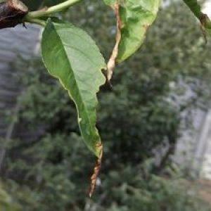 Щеплення персика – як обзавестися південним фруктом на своїй дачі? + Відео