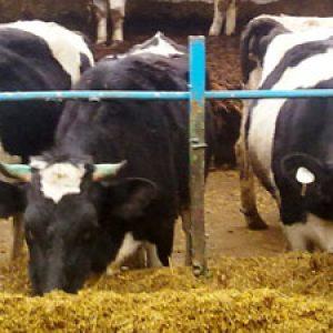 Сарай для корів – як зробити його сухим, теплим і довговічним? + відео