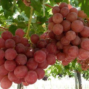 Опис сорту винограду Гурман і різновидів