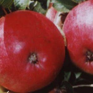 Масу переваг має яблуня Бельфлер Башкирська