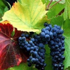 """Виноград """"Красень"""": опис сорту і фото, зростання, визрівання, болезнеустойчивость"""