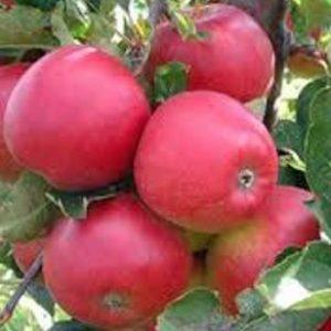 Краса, яскравий смак, міцний имуннитет — яблуня Афродіта