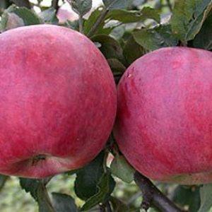 Переваги і недоліки яблуні сорту Червоне раніше