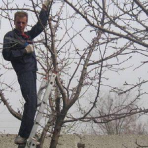 Обрізка плодових дерев восени і навесні починаючому садівникові + Відео