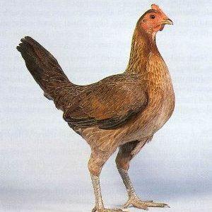 Староанглийские бійцівські кури: спортивна порода, що не вимагає особливої опіки