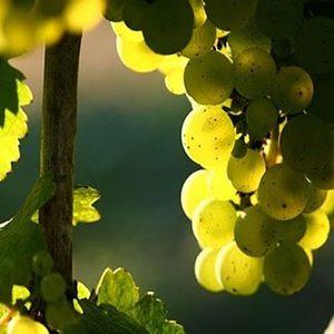 Виноград рислінг опис сорту , фото, характеристики.