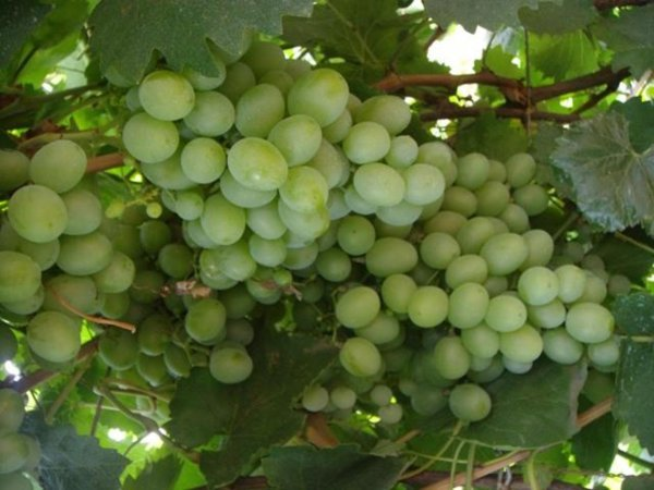 Описание винограда подарок запорожью 632