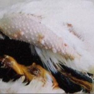 Інфекційний бронхіт у курей відомий також, як ІБК, Infectious bronchitis, Bronchitis infectiosa avium