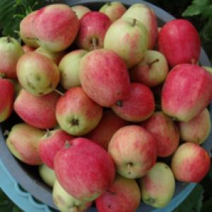 Повний опис сорту яблуні Літній смугасте