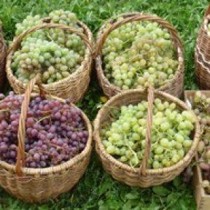 """Опис сорту винограду """"Одеський сувенір"""" – селекція, характеристики, фото"""
