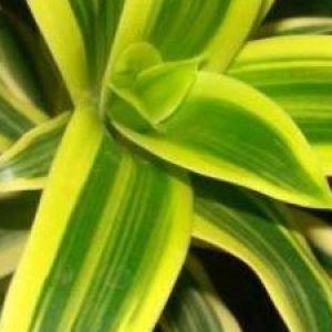 Кімнатні квіти драцена: догляд та боротьба з шкідниками рослин + відео