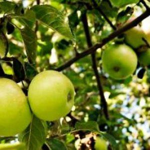Висока стійкість до різних захворювань яблуні сорту Жовте цукрове