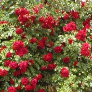 В'юнка роза: посадка і догляд – важливість проведення робіт + відео
