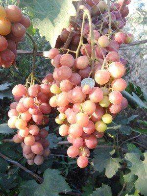 Виноград эффект описание сорта фото