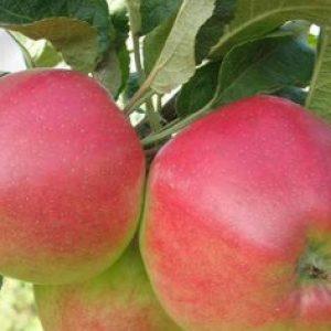 Яблуня сорту Квінта: чим хороша, як садити, які особливості?
