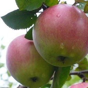 """Яблуні """"Орловське полісся"""": докладний опис врожайного сорту і його фото"""