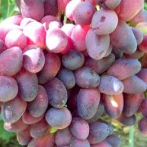 """Виноград """"Красуня"""": опис сорту, фото і характеристики, поради по боротьбі з шкідниками"""