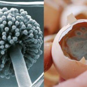 Аспергільоз птахів: поразка серзной оболонки і дихальної системи