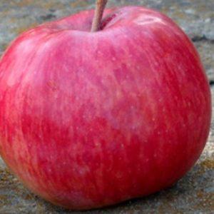 В якому кліматі яблуня Беркутовское почуває себе комфортно?