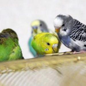 Закупорка кишечника птахів або що робити, коли не проходить їжа