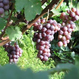 Виноград російський ранній опис сорту з фото