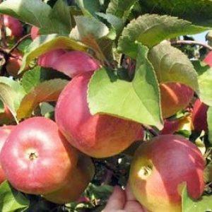 Дружба народів – універсальний сорт яблуні