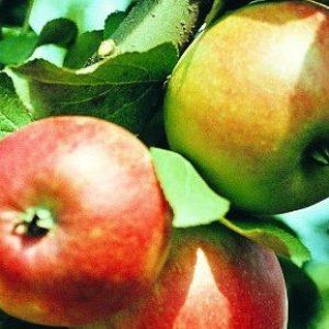 Сорт яблуні Коробовка: особливості та характеристики
