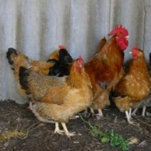 Омфаліт – пупочно-жовткова інфекція у молодняка птахів