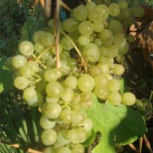 """Виноград """"Перли"""": фото та опис найбільш розповсюджених сортів – """"Чорний"""", """"Рожевий"""", """"Сабо"""""""