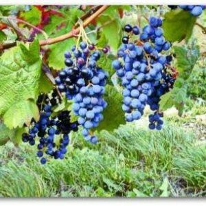 """Виноград """"Загадка Шарова"""": опис сорту з фото і рекомендаціями по догляду"""