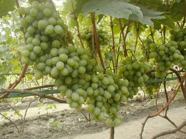 Сорта винограда фото и описание подарок запорожья 261