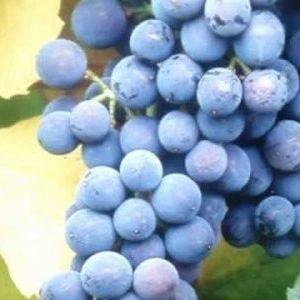 """Виноград """"Голубок"""": опис сорту з фото, як доглядати і боротися з шкідниками?"""