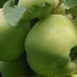 Знайшли вічне життя в народі яблука сорту Бабусине
