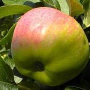 Самоплідна і невибаглива яблуня Ароматне: опис та фото