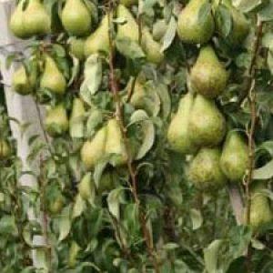 Як проходить правильна обрізка груші навесні і восени? + відео