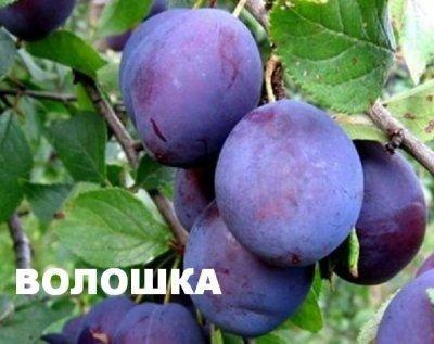 слива Волошка (фото и описание сорта)