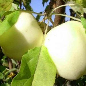 """Сорт """"Надія""""- осіння яблуня: опис, догляд та фото"""