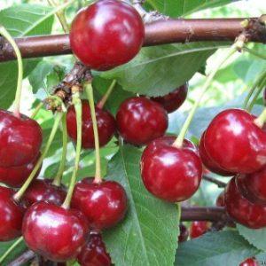 Смачна і солодка вишня шалун…: опис сорту, правила посадки