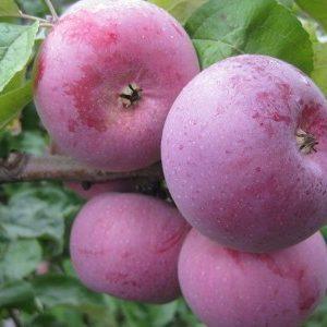 Підходить для вирощування в середній смузі Росії яблуня Білоруська Малинова