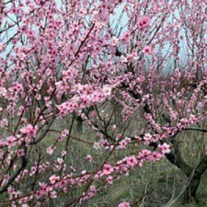 Обрізка молодого персика навесні – схема формування крони + Відео