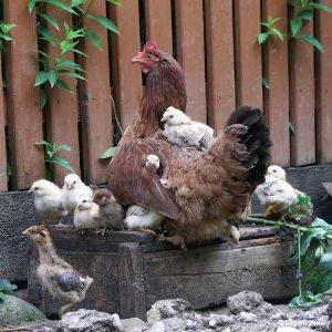 Сальпінгіт у домашньої птиці: запалення яйцепроводу у несучок