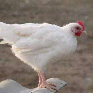 Російська біла порода курей – їх яйця є на кожному ринку Росії
