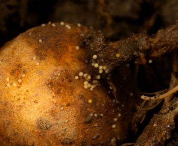 0abe9b2e2081bca151cd946cc596f0b5 Картопляна нематода: методи боротьби з небезпечним шкідником картоплі