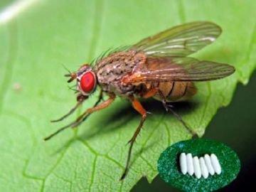 Мінуюча муха   небезпека для городу