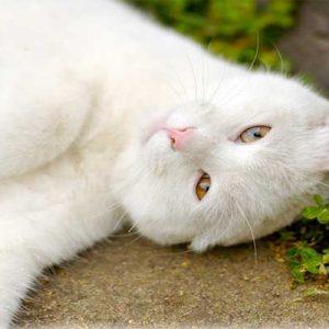 Блохи у кішок небезпечні для людини чи ні
