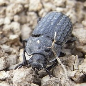 Кукурудзяний, широкогрудий та піщаний мідляк – комахи, які шкодять полям і городам