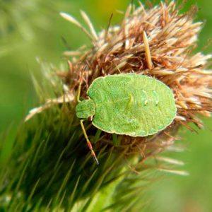 Трав'яні клопи – фото і чим шкідливі