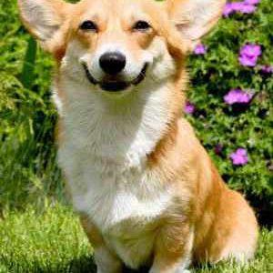 Собака породи вельш коргі пемброк: опис та характеристика