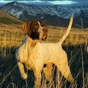 Пойнтер: призначення собаки та все про даній породі