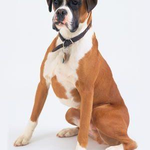Німецький боксер: опис породи собак